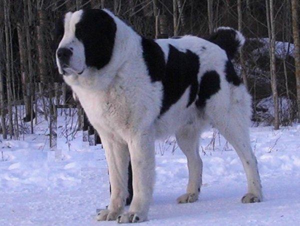 Выбор собаки для охрана