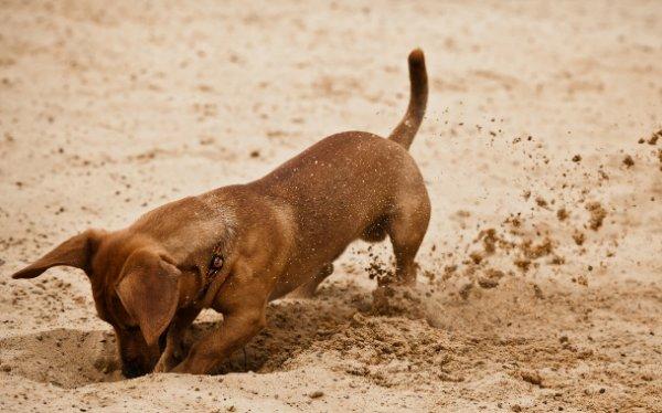 Почему собаки роют землю и что с этим делать