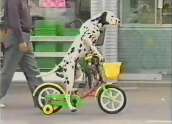 Как собак на велосипеде учили ездить