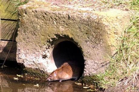 Огромные крысы мутанты заполоняют в Великобританию