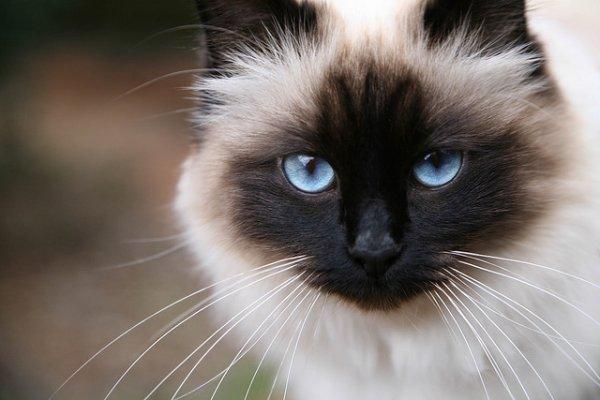 Немного о священной кошке Бирмы