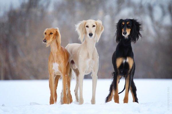 Десять редких пород собак